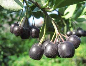 черноплодная рябина рецепты выпечки